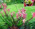 pink Herbaceous Plant Kangaroo paw Photo and characteristics