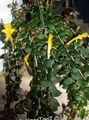 yellow  Columnea, Norse Fire Plant, Goldfish Vine Photo and characteristics