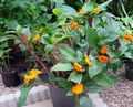 orange Herbaceous Plant Fiery Costus Photo and characteristics