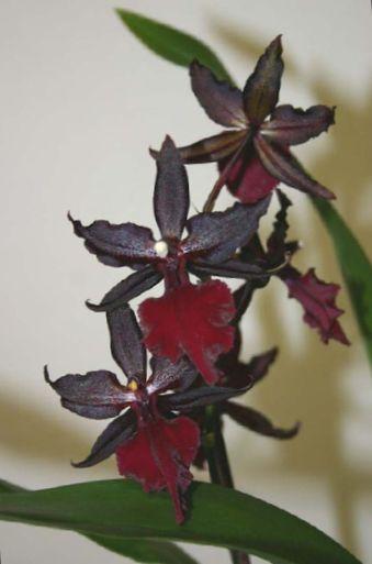 Orchideja lotyniskas pavadinimas
