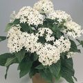 white Herbaceous Plant Pentas, Star Flower, Star Cluster Photo and characteristics