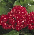 red Herbaceous Plant Pentas, Star Flower, Star Cluster Photo and characteristics