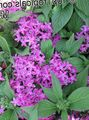 lilac Herbaceous Plant Pentas, Star Flower, Star Cluster Photo and characteristics