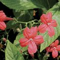red  Monkey Plant, Red ruellia Photo and characteristics