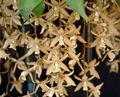 brown Herbaceous Plant Coelogyne Photo and characteristics