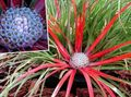 light blue Herbaceous Plant Fascicularia bicolor Photo and characteristics