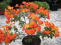 orange Tree Marmalade Bush, Orange Browallia, Firebush Photo and characteristics