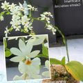 white Herbaceous Plant Calanthe Photo and characteristics