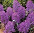 purple Herbaceous Plant Grape Hyacinth Photo and characteristics