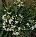 white Herbaceous Plant Sea Daffodil, Sea Lily, Sand Lily Photo and characteristics