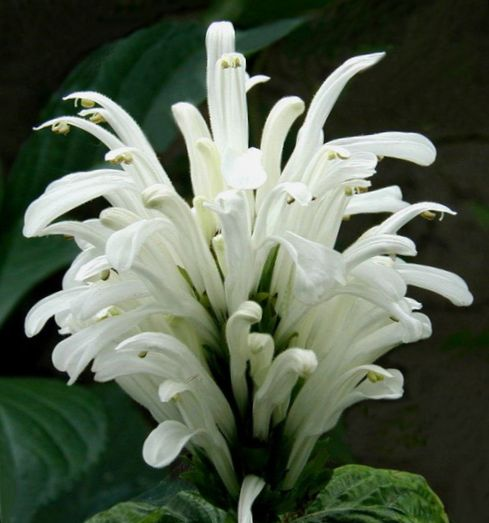 Le piante domestiche pennacchio brasiliano fiore for Faccende domestiche in inglese