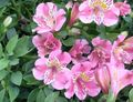 pink Herbaceous Plant Peruvian Lily Photo and characteristics