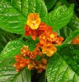 red Herbaceous Plant Chrysothemis Photo and characteristics