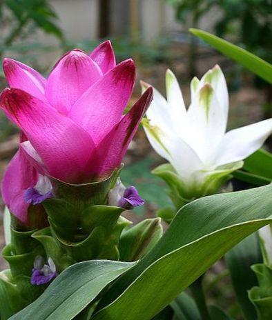 indend rs planter gurkemeje blomst urteagtige plante curcuma pink foto. Black Bedroom Furniture Sets. Home Design Ideas