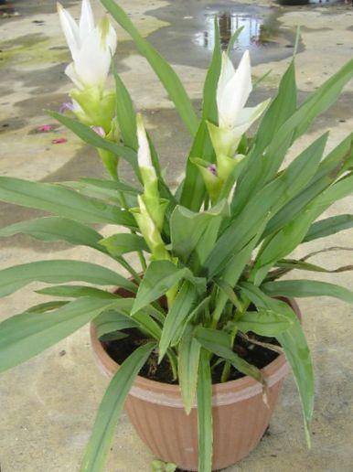indend rs planter gurkemeje blomst urteagtige plante curcuma hvid foto. Black Bedroom Furniture Sets. Home Design Ideas