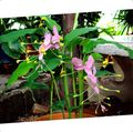 pink Herbaceous Plant Dancing Lady Photo and characteristics