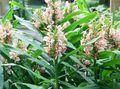 pink Herbaceous Plant Hedychium, Butterfly Ginger Photo and characteristics