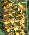 orange Herbaceous Plant Hedychium, Butterfly Ginger Photo and characteristics
