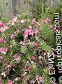 pink Shrub Grevillea Photo and characteristics