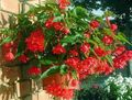 red Herbaceous Plant Begonia Photo and characteristics