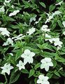white Herbaceous Plant Browallia Photo and characteristics