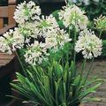 white Herbaceous Plant African blue lily Photo and characteristics