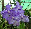 light blue Herbaceous Plant Vanda Photo and characteristics