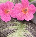 pink Herbaceous Plant Episcia Photo and characteristics