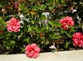 pink Shrub Hibiscus Photo and characteristics