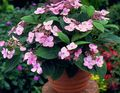 pink Shrub Hydrangea, Lacecap Photo and characteristics
