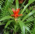red Herbaceous Plant Guzmania Photo and characteristics