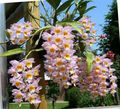 pink Herbaceous Plant Dendrobium Orchid Photo and characteristics