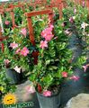 pink Hanging Plant Dipladenia, Mandevilla Photo and characteristics