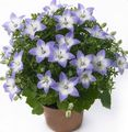 light blue Hanging Plant Campanula, Bellflower Photo and characteristics