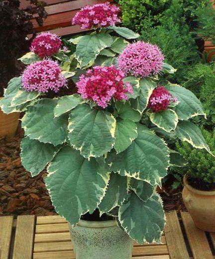 Plantas de interior clerodendron flor arbusto - Arbustos de interior ...
