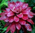 claret Herbaceous Plant Bromeliad Photo and characteristics