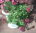 claret Herbaceous Plant Geranium Photo and characteristics