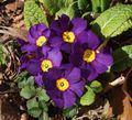 purple Herbaceous Plant Primula, Auricula Photo and characteristics