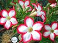 red Tree Desert Rose Photo and characteristics