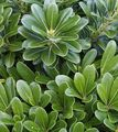 green Shrub Japanese Laurel, Pittosporum tobira Photo and characteristics