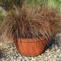 brown Herbaceous Plant Carex, Sedge Photo and characteristics