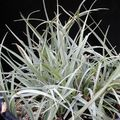 silvery Herbaceous Plant Carex, Sedge Photo and characteristics