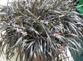 silvery Herbaceous Plant Black Dragon, Lily-turf, Snake's beard Photo and characteristics