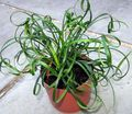 green Herbaceous Plant Lily Turfs Photo and characteristics