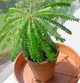 green  Biophytum, Sensitive Plant Photo and characteristics