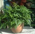 green Herbaceous Plant Leatherleaf fern Photo and characteristics