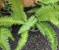 green Herbaceous Plant Sword Fern Photo and characteristics