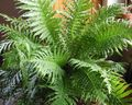 green Herbaceous Plant Hard Fern Photo and characteristics
