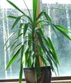 green Herbaceous Plant Dracaena Photo and characteristics