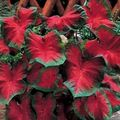 red Herbaceous Plant Caladium Photo and characteristics